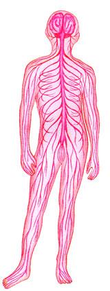 hvilke knogler er der knoglemarv i