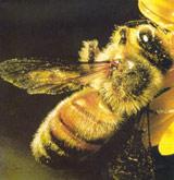 den forseglede nektar