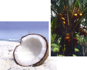 kokosolie smeltepunkt